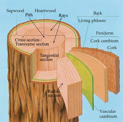 tree trunk diagram label wiring diagram srconds  tree trunk diagram label #1